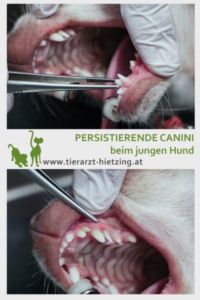 Tierarztpraxis d'Orazio - persistierende Canini beim jungen Hund